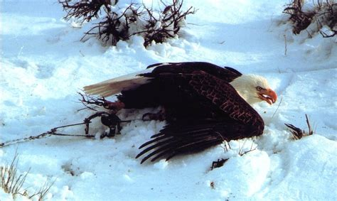 Group files suit to block Minnesota trapping | MPR News