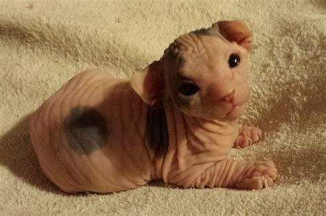 23 Photos That Prove That Hairless Kittens Are Adorable