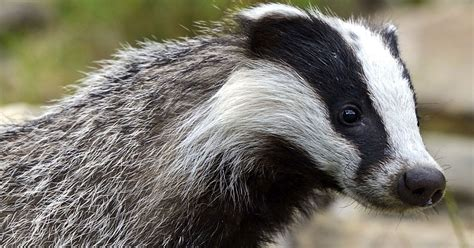 Nearly 11,000 badgers killed in latest cull across