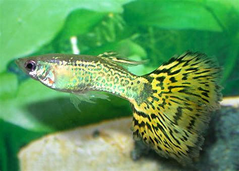 Guppy Types (man-made) - Guide to identifying