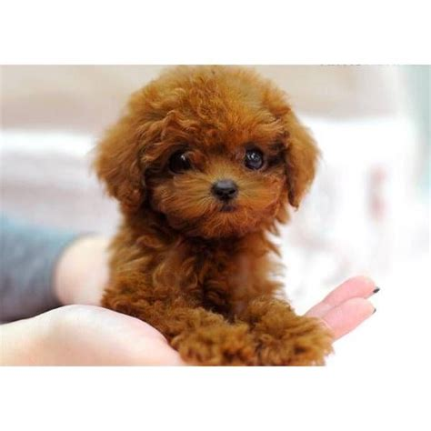 Which Breed Of Dog Should You Get One Day?   Teacup poodle