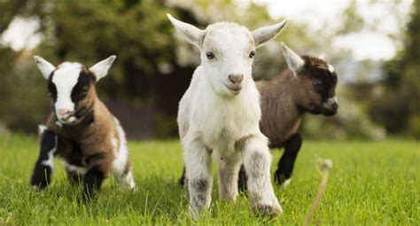 This Is What Happens When Baby Goats Escape Their Pen!