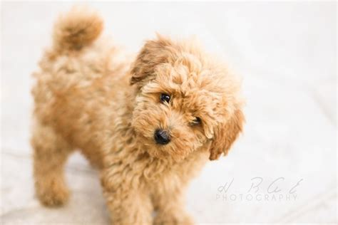 40 Amazing Poodle Dog Puppies Pictures - Tail and Fur