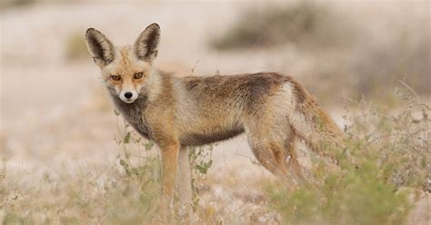 Birds of Saudi Arabia: Two different Arabian Red Foxes