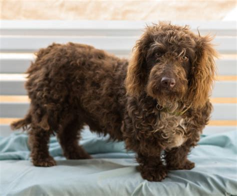 21 Unreal Poodle Cross Breeds You Have To See To Believe